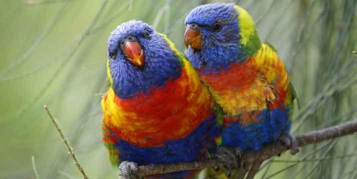 Pareja de papagayos