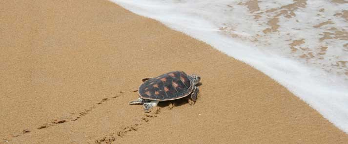 Tortuga en la playa